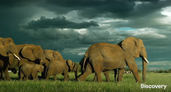 Serengeti TV show on Discovery: (canceled or renewed?)