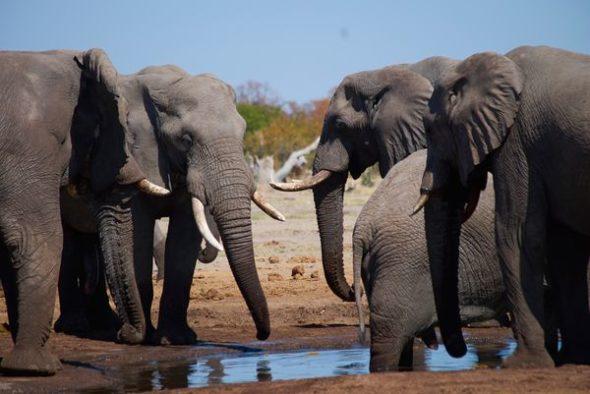 Walking with Elephants TV Show on Animal Planet: canceled or renewed?