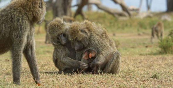 Serengeti TV show on Discovery: (canceled or renewed?)
